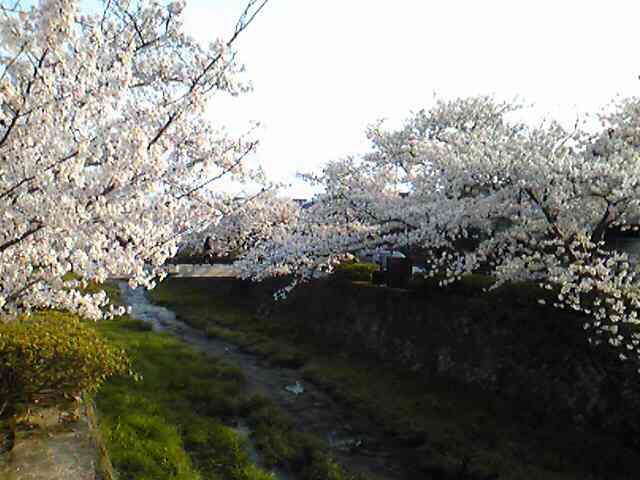 山口市・一の坂川は、桜が満開